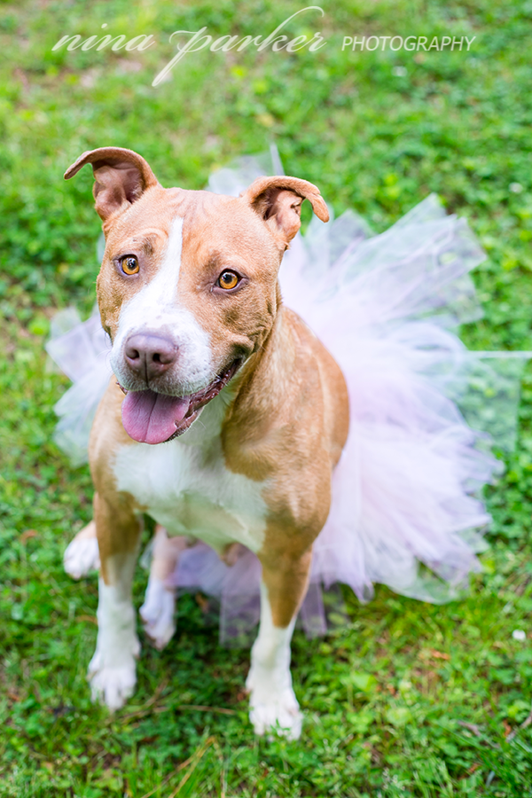 Pitbull-Rescue-Paddy-NinaParkerPets-3004